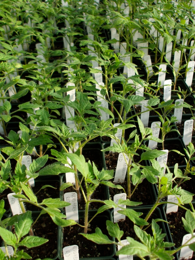 Tomato seedlings just like ours. (Love Apple Farms)