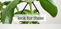 Pinch basil (Shopify) for Napa Master Gardener Column Blog