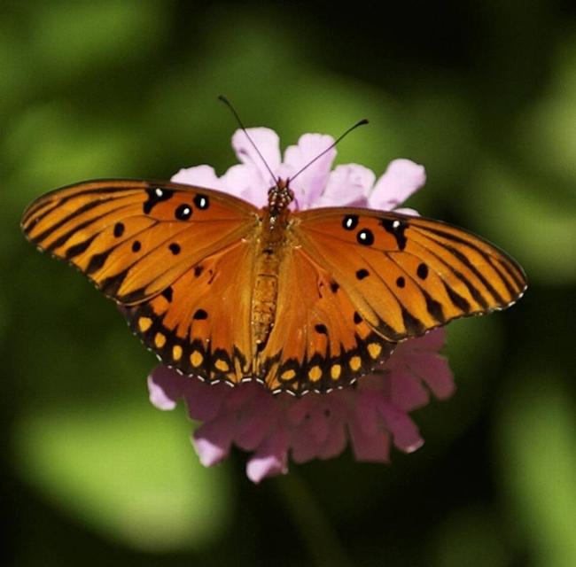 Gulf fritillary (Sacramento Bee)