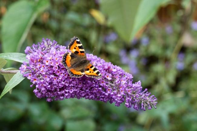 Butterfly bush w butterfly (Toronto Star)