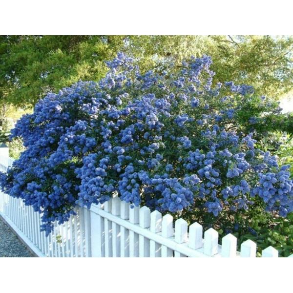 Ceanothus bush (Plants Express)