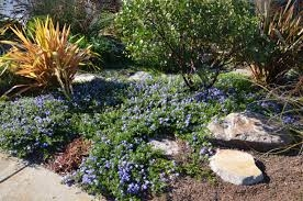 Ceanothus ground cover (PlantRight)