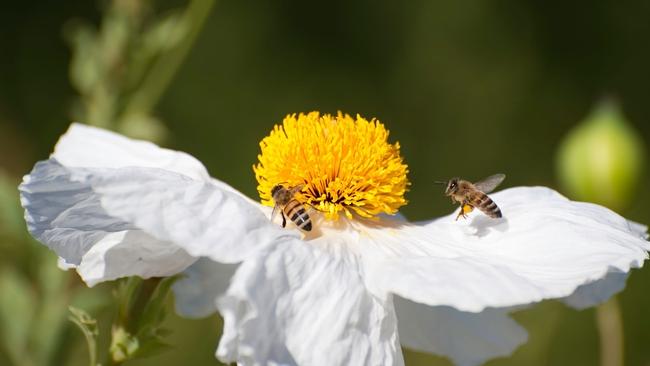 Matilija poppy with bees (San Diego Zoo Animals)