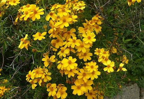 Native marigold (San Francisco Botanical Garden)