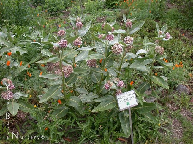 Showy milkweed (Yerba Buena Nursery)