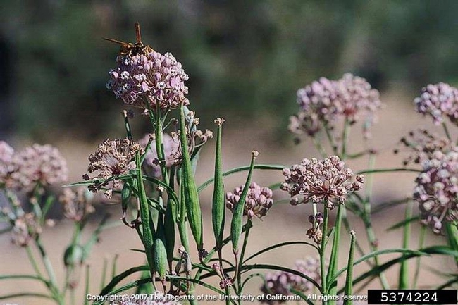 Mexican whorled milkweed (Forestry Images)