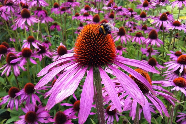 Purple coneflower (San Diego Seed Company)