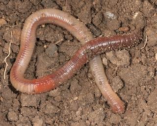 Earthworm, Lumbricus terrestris (Discover Life)