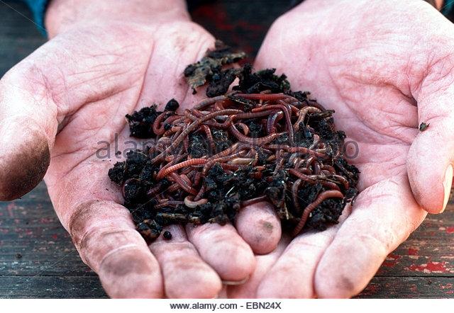 Red wiggler, Eisenia fetida (Alamy)