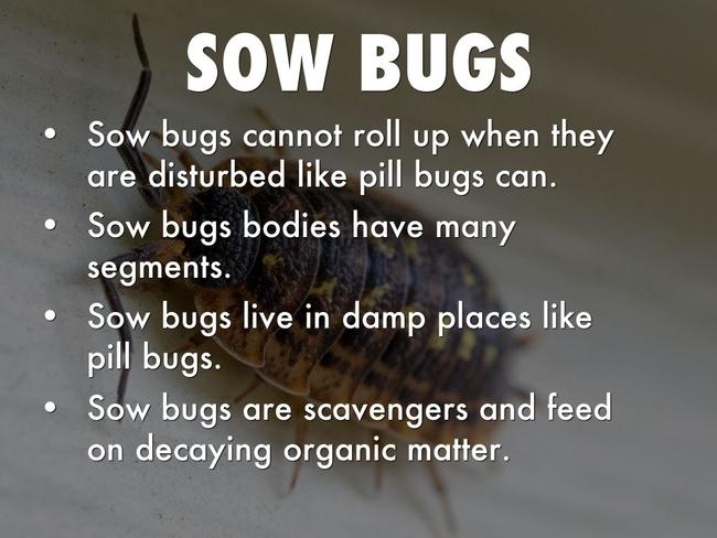 Sow bugs (Haiku Deck)