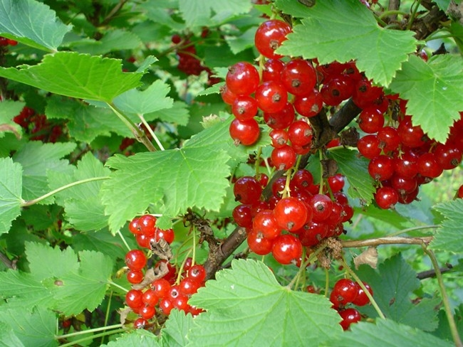 Currants (Northern Bushcraft)