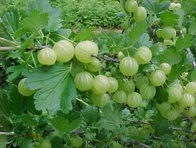 Gooseberries (Institute for Traditional Medicine)