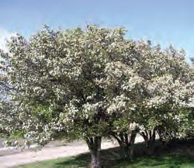 Black hawthorn tree (Pinterest)