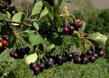 Black hawthorn berries (WTU Herbarium Image Collection)