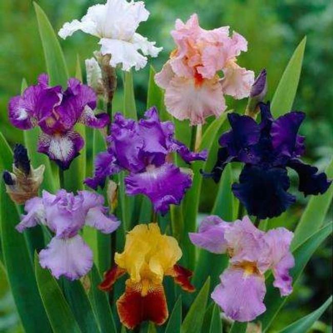 Bearded iris (5Miles)