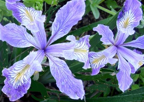 Pacific coast iris (Sundquist Nursery)