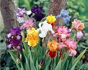 Bearded iris (Amazon.com)
