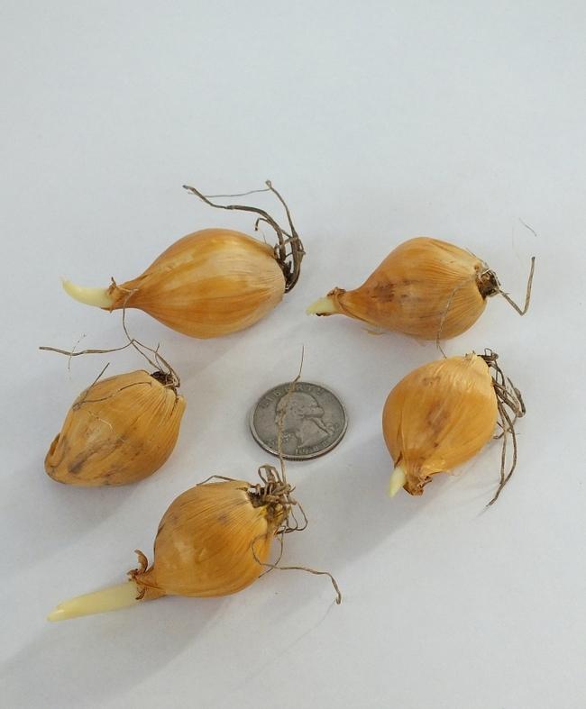 Iris bulbs (John Scheepers)