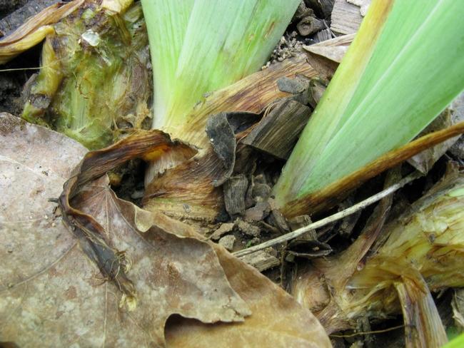 Soft rot, erwinia carotovora, on iris rhizomes rots the rhizomes (Flickr)