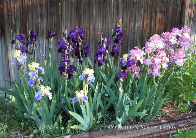 Iris in garden (Garden Solutions LLC)