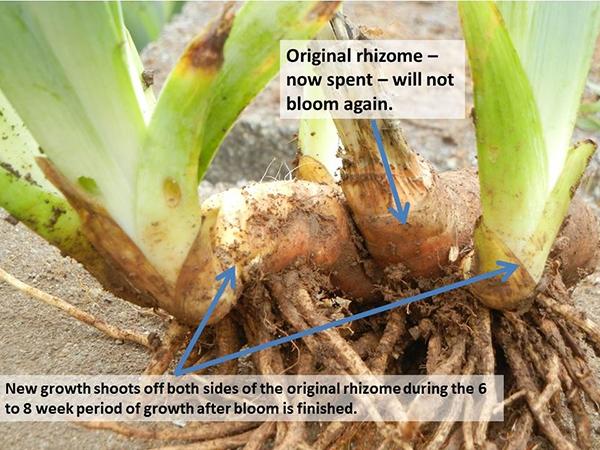 Divide iris rhizomes (Schreiner's Iris Gardens)