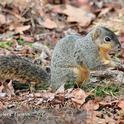 Eastern fox squirrel (Christopher L. Christie)