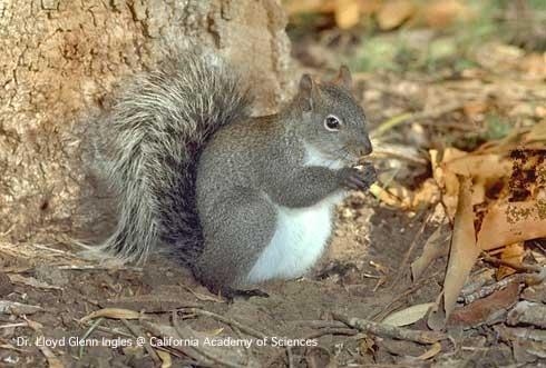 Western gray squirrel (Dr. Lloyd Glenn Ingles)