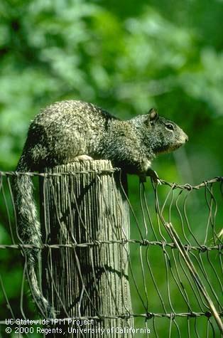 California ground squirrel (Jack Kelly Clark)