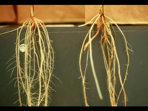 Root hairs 1 (YouTube)