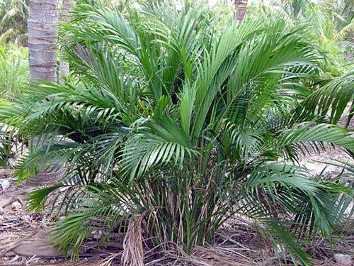 Cascade palm (Pinterest)