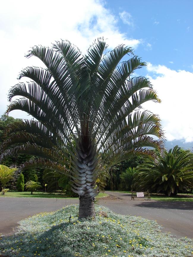Triangle palm (Pinterest)