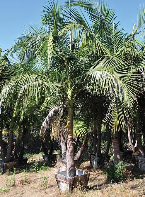 King palm (www.thepalmnursery.com)
