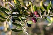 Olives (Stark Bro's)