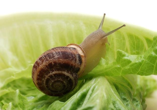 Garden snail on lettuce (Snail)