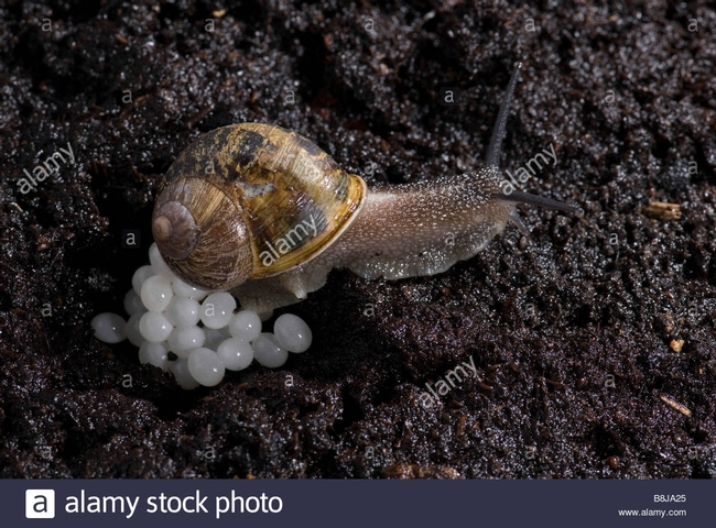 Garden snail laying eggs(Alamy)