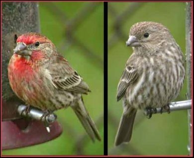 House finch male and female (Wild Bird Habitat Store)