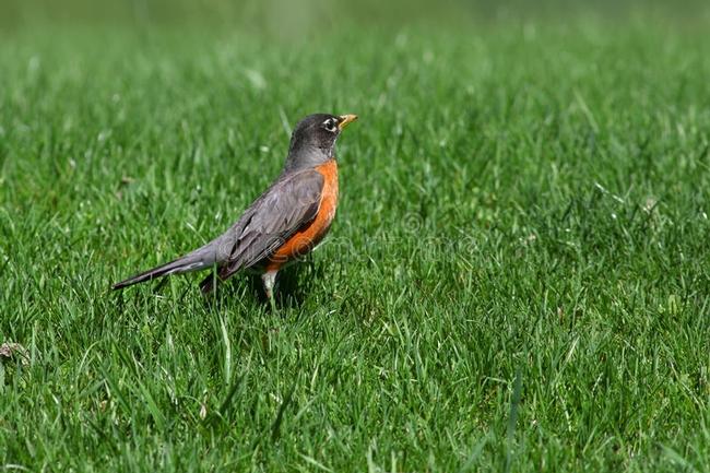 Robin (Dreamstime.com)