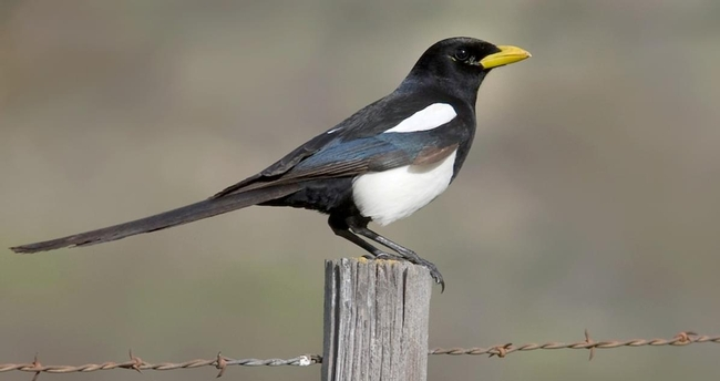 Yellow billed magpie (All About Birds)