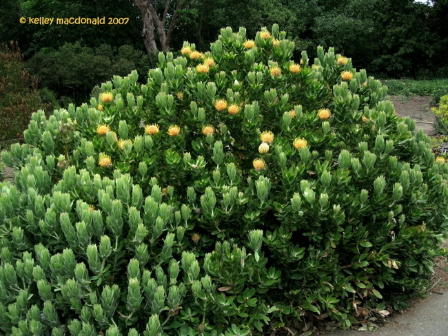Leucospermum Veldfire shrub (Dave's Garden)