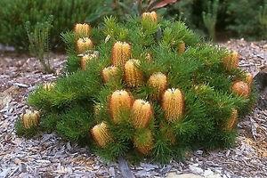 Banksia shrub (eBay)