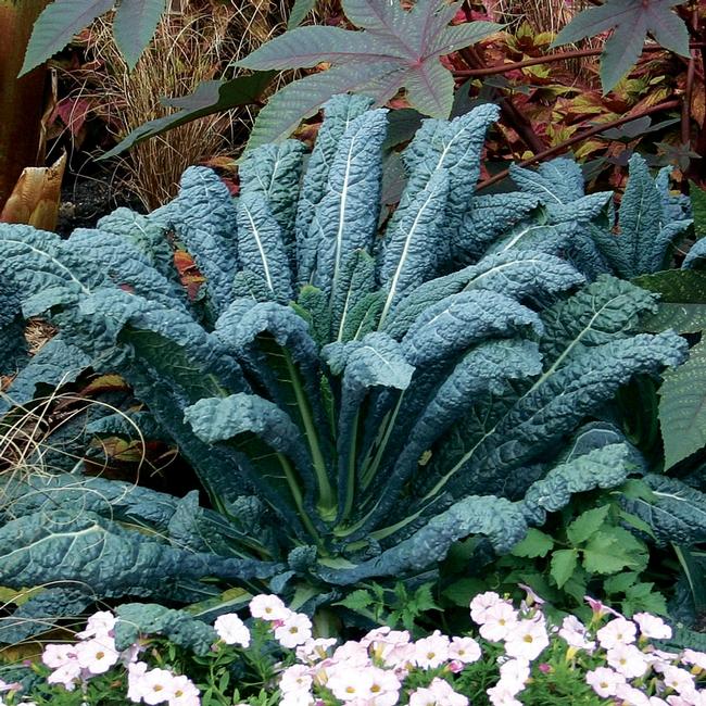 Lacinto kale (Park Seed)