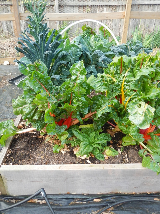 Kale and swiss chard garden (willsfamilyacres)