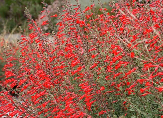 California fuchsia (Calscape)