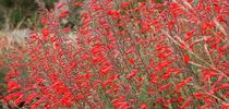 California fuchsia (Calscape) for Napa Master Gardener Column Blog