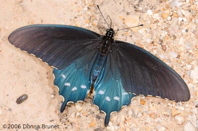Pipevine swallowtail butterfly (MDC Discover Nature)