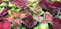 Rainbow coleus (Ohio Heirloom Seeds) for Napa Master Gardener Column Blog
