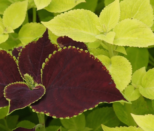 Chocolate Symphony coleus with Lime Delight (Seed Empire)
