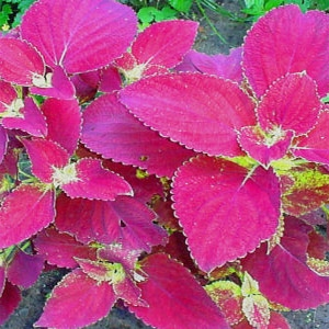 Pink coleus--there are plenty of choices!  (www.outsidepride.com)