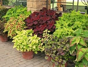 Colors of coleus (Master Gardener Program, Univ. of Wisconsin Extension)