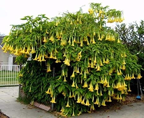 Brugmansia 'Charles Grimaldi'--showy, isn't it!  (Amazon)